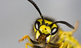 Head of wasp in grey background Stock Photography