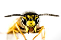 Head of wasp in white background Royalty Free Stock Photos