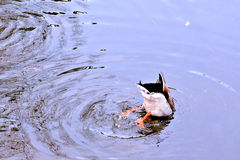 Head in the water. A duck with it's head underwater Stock Photo