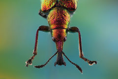 Head of Weevil Rhynchites bacchus Stock Photography