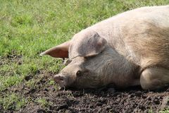 Head of a Welsh Pig. The Head of a Welsh Pig on a Muddy Grass Field Stock Image