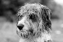 Head wet. Closeup view of a head of a domestic dog with his fur wet Royalty Free Stock Photos