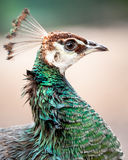Head of Wet Indian Peahen in the Rain Stock Photo