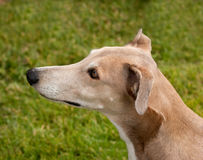 Head of a whippet Royalty Free Stock Photo
