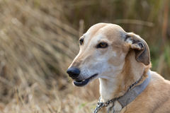 Head of whippet. Dog's head against the grass Royalty Free Stock Photo