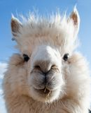 Head of a white Alpaca Royalty Free Stock Images