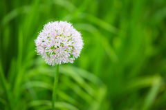 Head of white blooming onion. In daylight Royalty Free Stock Photo
