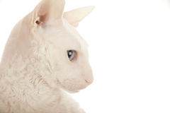 Head of the white cat Royalty Free Stock Photos