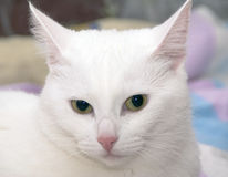 Head of white cat Royalty Free Stock Photography