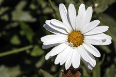 Head of white daisy flower with a white spider on it Stock Photo