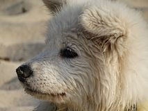 The head of a white dog in the sand. Portrait of a concentrated white dog Stock Photography
