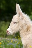 Head of white donkey foal Stock Photo