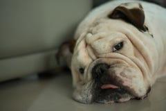 Head of white english bulldog sleep on the floor Royalty Free Stock Image