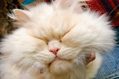 Head of a white fluffy cat Stock Images