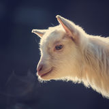 Head of a white goat. Against a blue background Stock Image