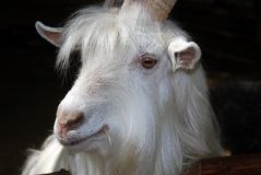 Head of the white goat Stock Photo