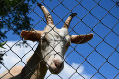 The head of a white goat behind a wire fence Stock Photo