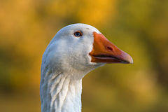 Head of white Goose. Portrait or closeup view of the head of a grey goose. Genus: Anser royalty free stock photography