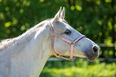 The head of white Hanoverian horse in the bridle or snaffle attacked by the swarm of flies and mosquitos with the green background royalty free stock image