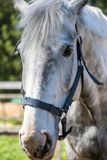 The head of white Hanoverian horse in the bridle or snaffle a with the green background of trees an grass in the sunny summer day royalty free stock images