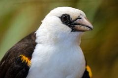 Head of a white-headed buffalo weaver in profile view stock images