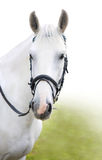 The head of white horse. With a bridle Stock Images