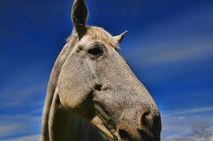 Head of a white horse Royalty Free Stock Photo
