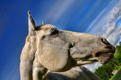 Head of a white horse Stock Images