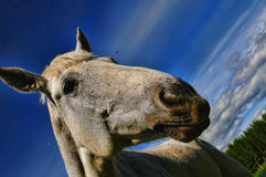 Head of a white horse Stock Photography