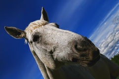 Head of a white horse Royalty Free Stock Images