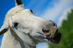 Head of a white horse Royalty Free Stock Photography