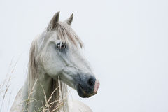 Head of white horse. With light blue background - horizontal image Stock Image
