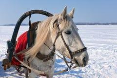 Head of white horse Royalty Free Stock Photos