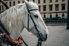 The head of a white horse against the backdrop of St Petersburg Stock Photo
