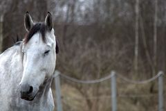 The head of a white horse on the background of a pasture. royalty free stock photos