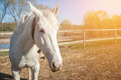 Head of white horse close-up in Sunny day. the horizontal frame. Stock Photo