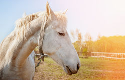 Head of white horse closeup in Sunny day. Royalty Free Stock Photography