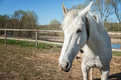 Head of white horse closeup in Sunny day. the horizontal frame. Stock Images