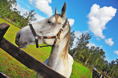 The head of a white horse on a green lawn. Royalty Free Stock Images