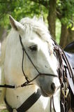 Head of white horse Royalty Free Stock Images