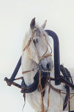 Head of a white horse in harness on white background Stock Photography