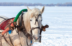 Head of white horse with harness. In wintertime Royalty Free Stock Image