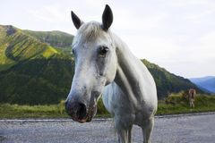Head of white horse looking at camera on road. This white horse it is looking at the camera on a road from Carpathian Mountains, Romania stock images