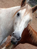 Head of white horse with red hair Royalty Free Stock Photography