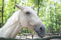 Head of white horse with sunlit forest in background sideview Royalty Free Stock Images