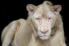 Head of white lion. Stock Photos