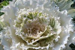 Head of white ornamental cabbage.  Stock Photo