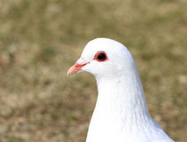 head of white pigeon Royalty Free Stock Photos