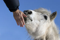 Head of a white pony against the blue sky. Royalty Free Stock Images