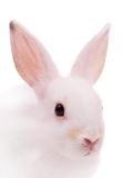 Head of  white rabbit Stock Images